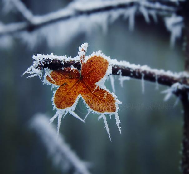 Leaf Frost by xKimJoanne