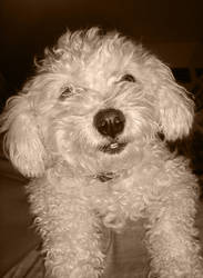 Smiling dog by daphotos