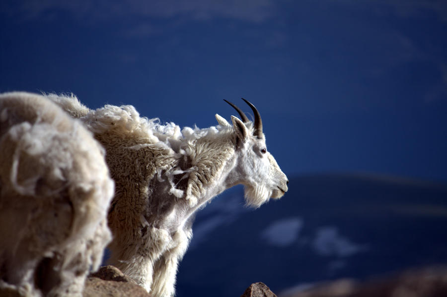 Mountain Goat by sidharth0384