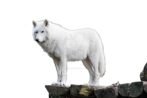 Wolf White png