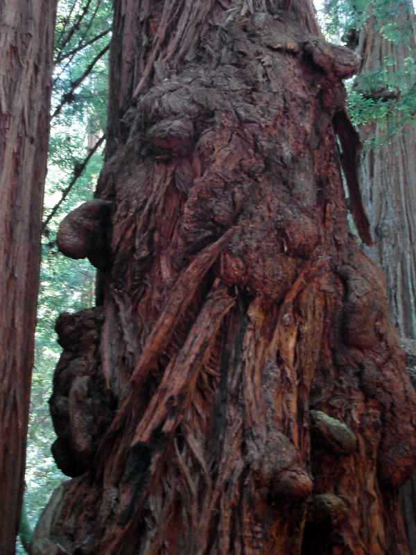 Redwood Ent of Muir Woods by Synaptica
