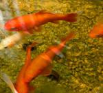 Goldfish Gang