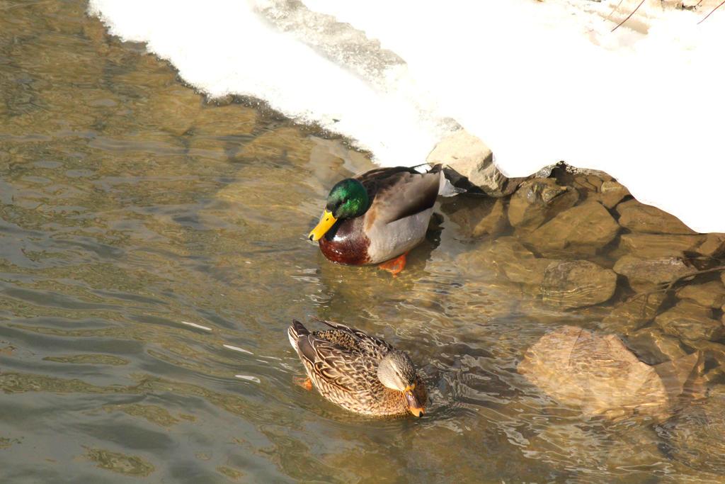 Ducks in winter. by sweatangel