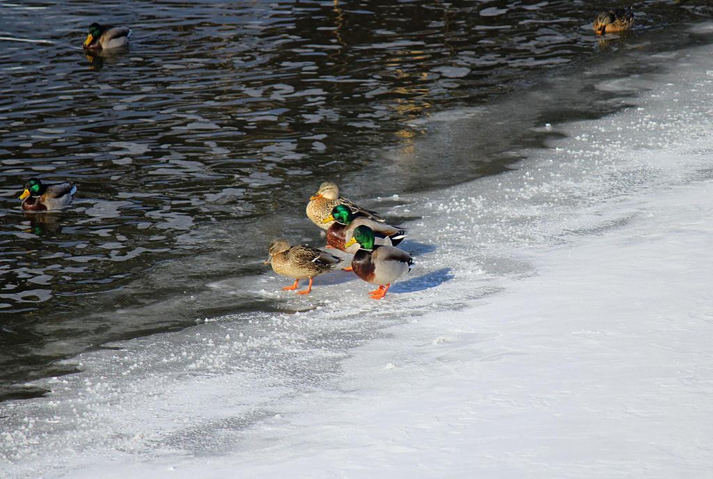 Ducks on Ice. by sweatangel