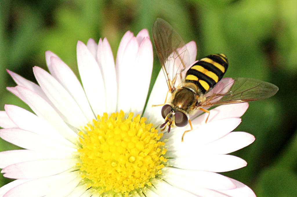 Hover fly. by sweatangel