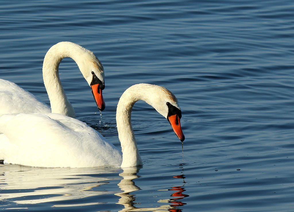 Two mute Swans. by sweatangel