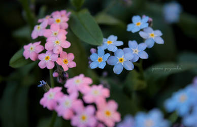 blue and pink forgetmenots.
