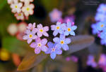 i heart forget-me-nots.