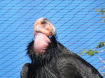 California Condor by Merintia