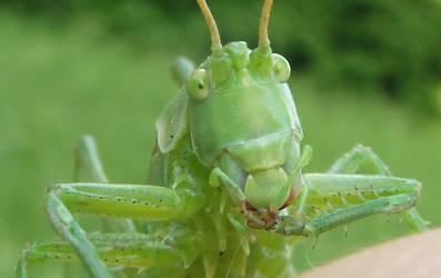 Grasshopper close up