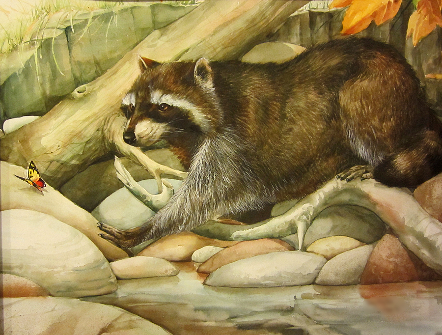 Old Racoon watercolor study by sandara