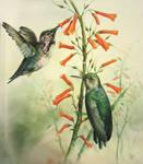 Hummingbirds watercolor study