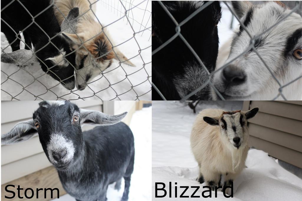 Meet The Goats by calliecat113