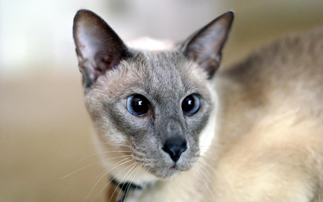 Lilac Point Siamese 2003 by photoboater on DeviantArt