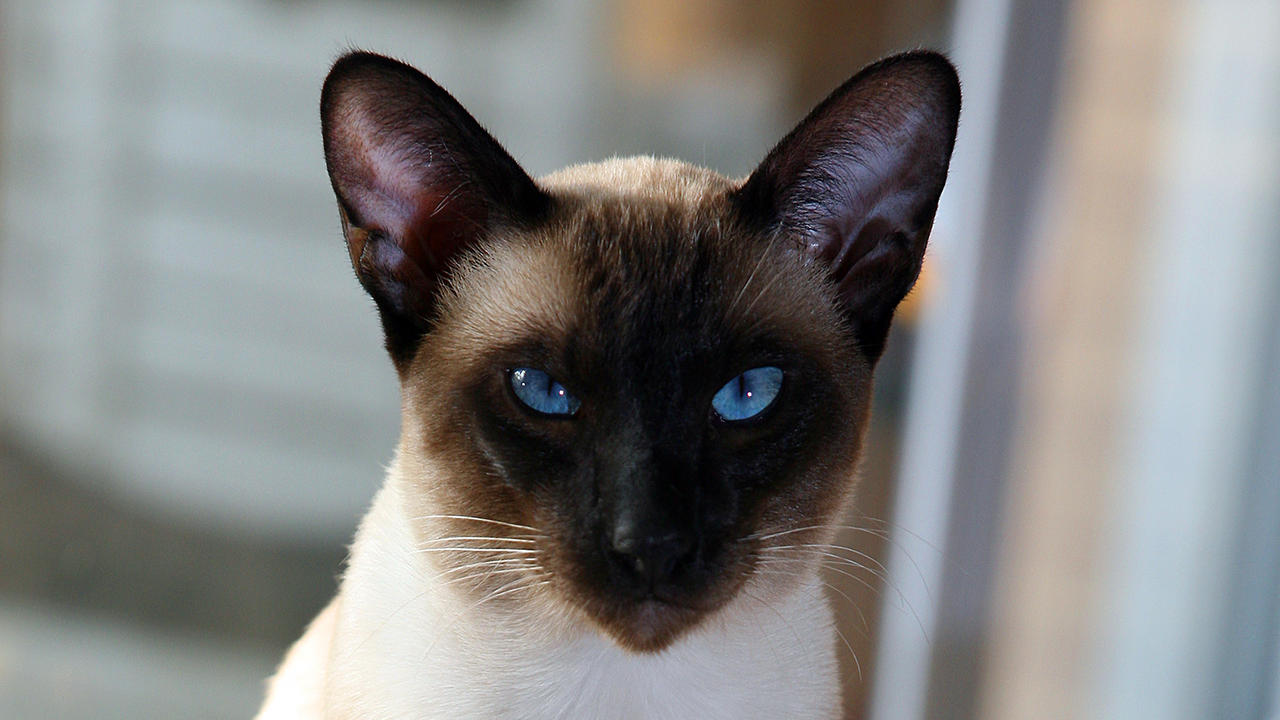 Seal point Siamese by photoboater on DeviantArt