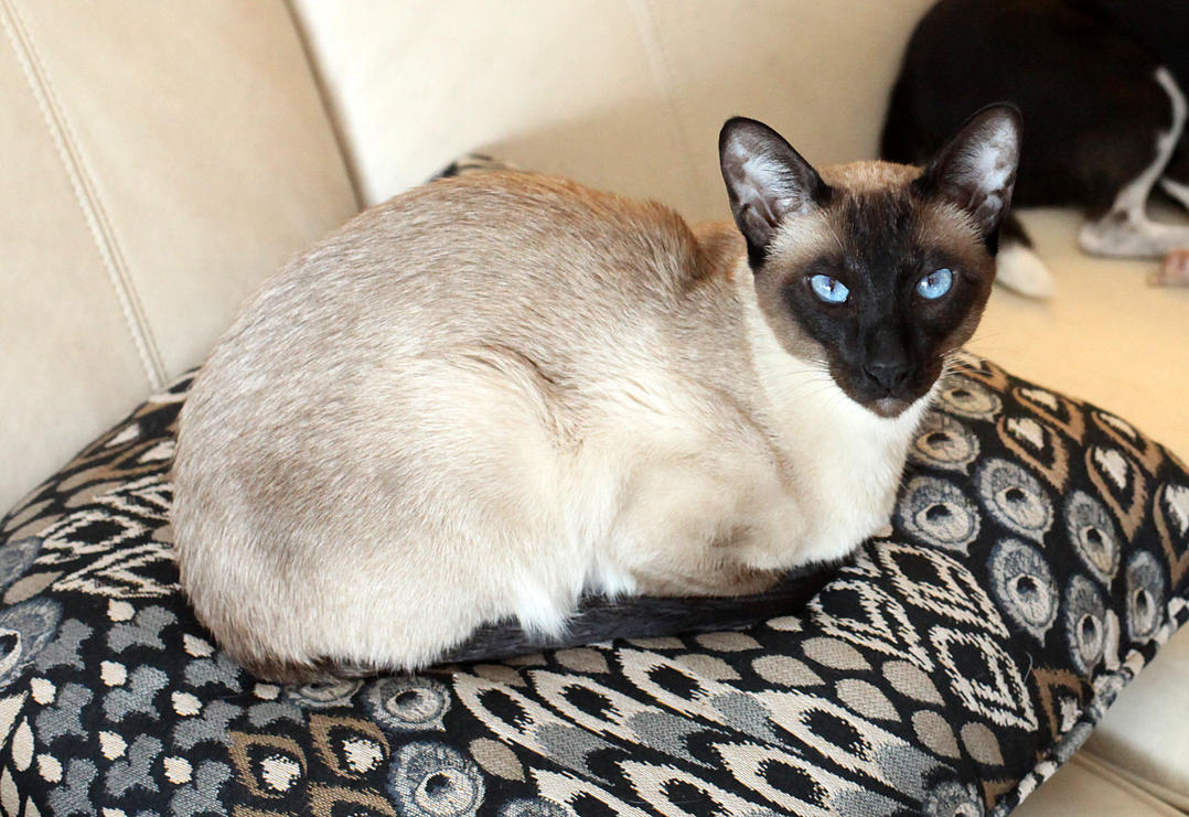 Seal Point Siamese Cat by photoboater on DeviantArt
