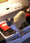 Lilac Point Siamese 4