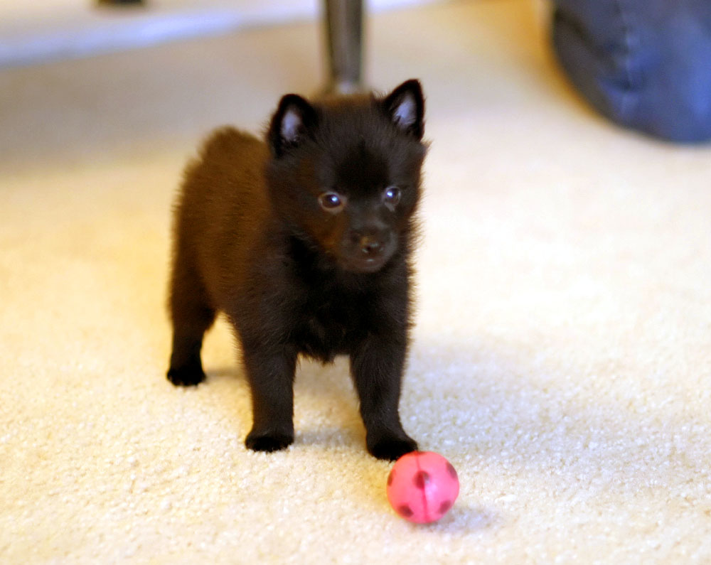 Schipperke Puppies Price Uk