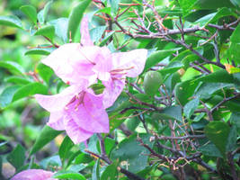 Bougainvillea 3 by chevelledesu