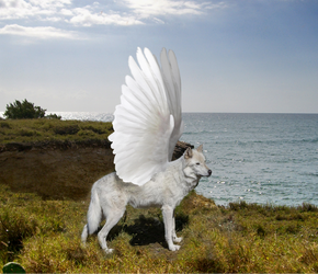 Canis Lupus Aves