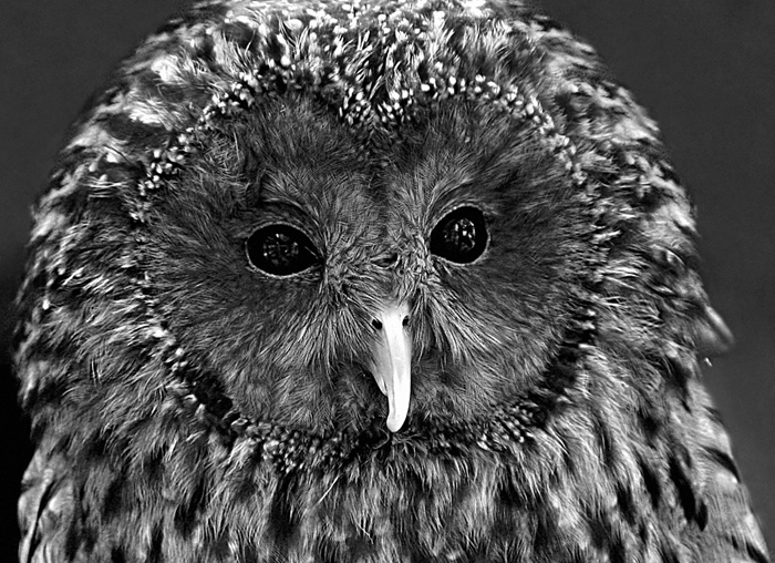 Ural Owl by mariusiancu