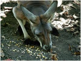 An eating kangaroo by angelwillz