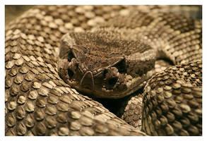 Rattlesnake by La-Vita-a-Bella