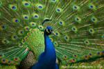 Peacock by La-Vita-a-Bella