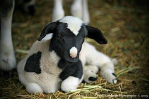Lamb by La-Vita-a-Bella