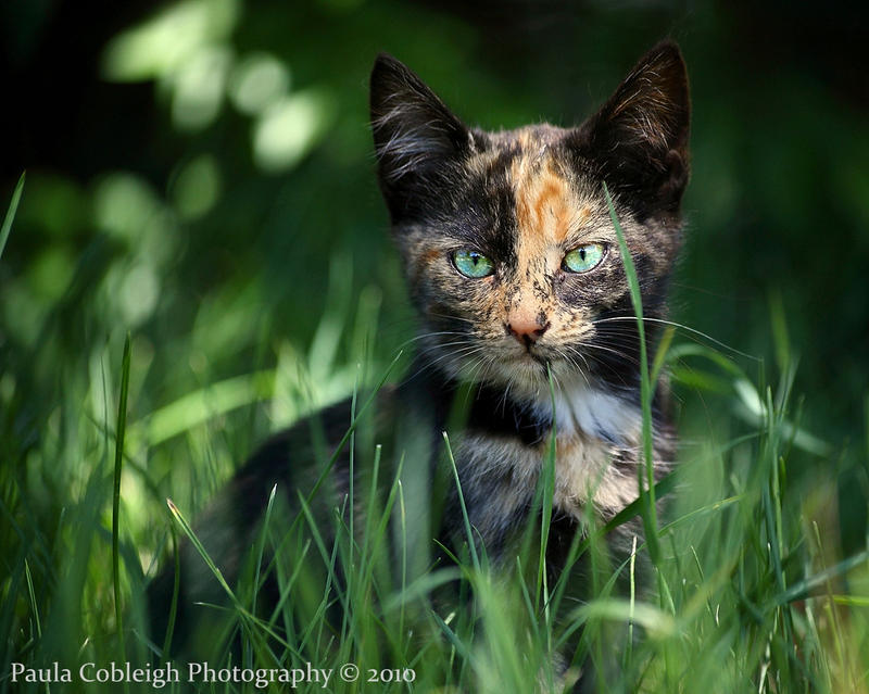 Where Can I Buy A Male Calico Cat
