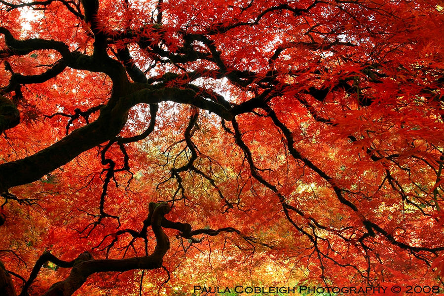 Japanese Maple by La-Vita-a-Bella