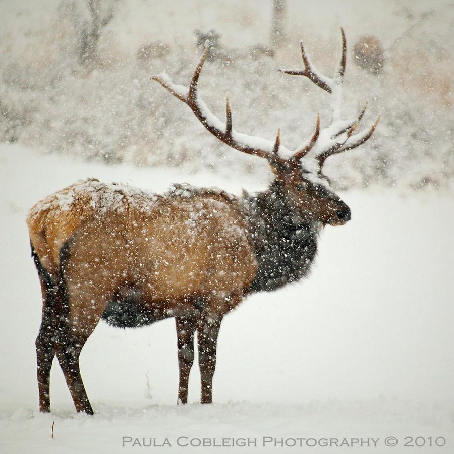 Bull Elk in Snow by La-Vita-a-Bella
