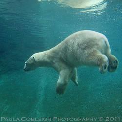 Weightless Polar Bear