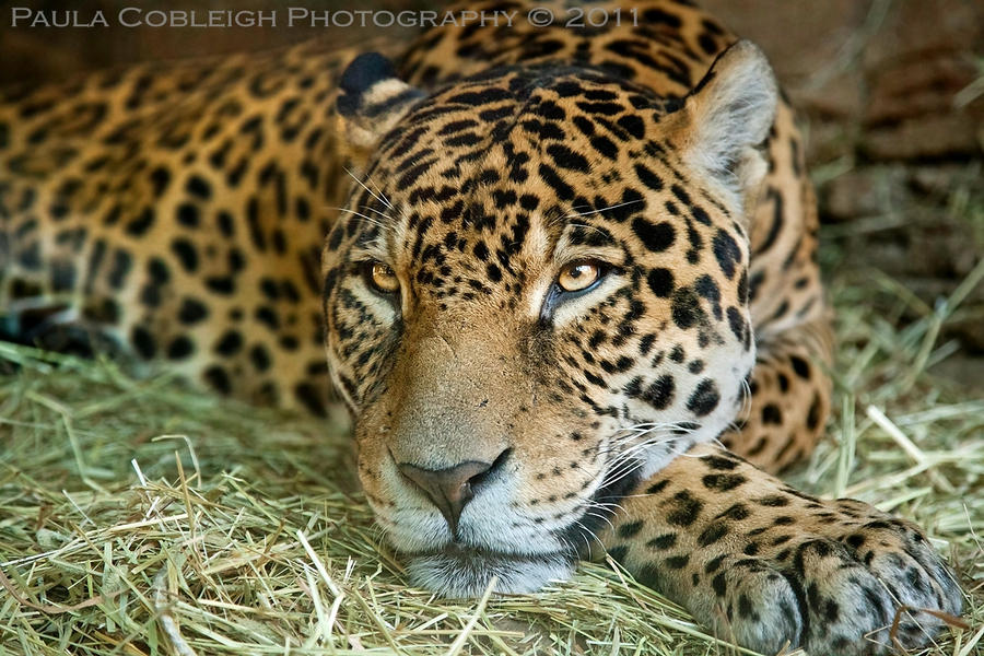 Jaguar by La-Vita-a-Bella