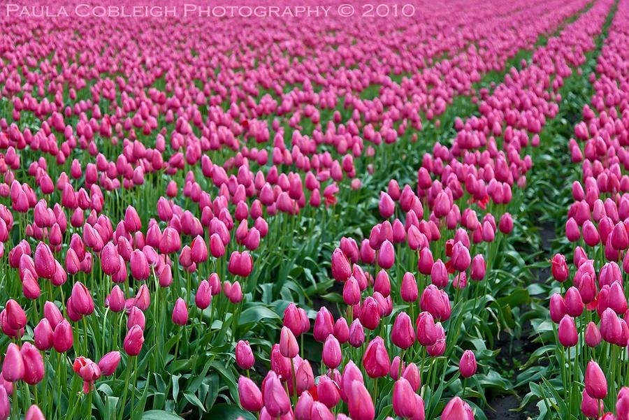 Sea of Pink by La-Vita-a-Bella