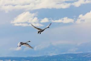 Tundra Swans in flight by La-Vita-a-Bella