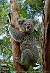 Cute and Cuddly Koala