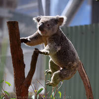 Jumping Koala by La-Vita-a-Bella