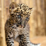 African Spotted Leopard Cub