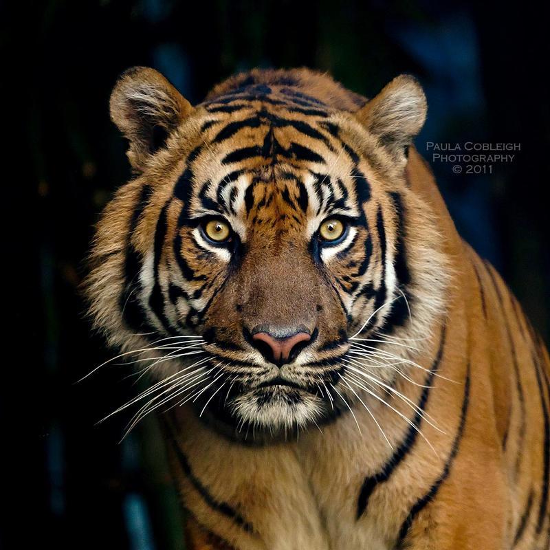 Tiger by La-Vita-a-Bella