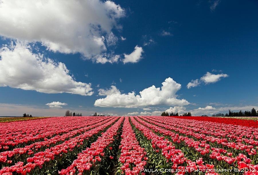 Tulips Forever by La-Vita-a-Bella