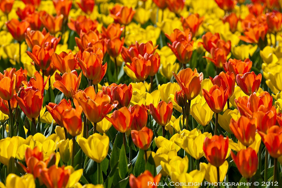 Yellow and Orange Tulips by La-Vita-a-Bella