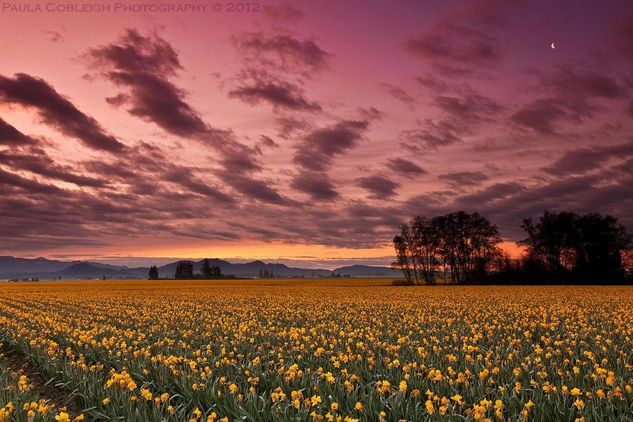 Daffodils Before Dawn by La-Vita-a-Bella