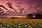 Daffodils Before Dawn