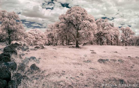 Black Oaks - Infrared