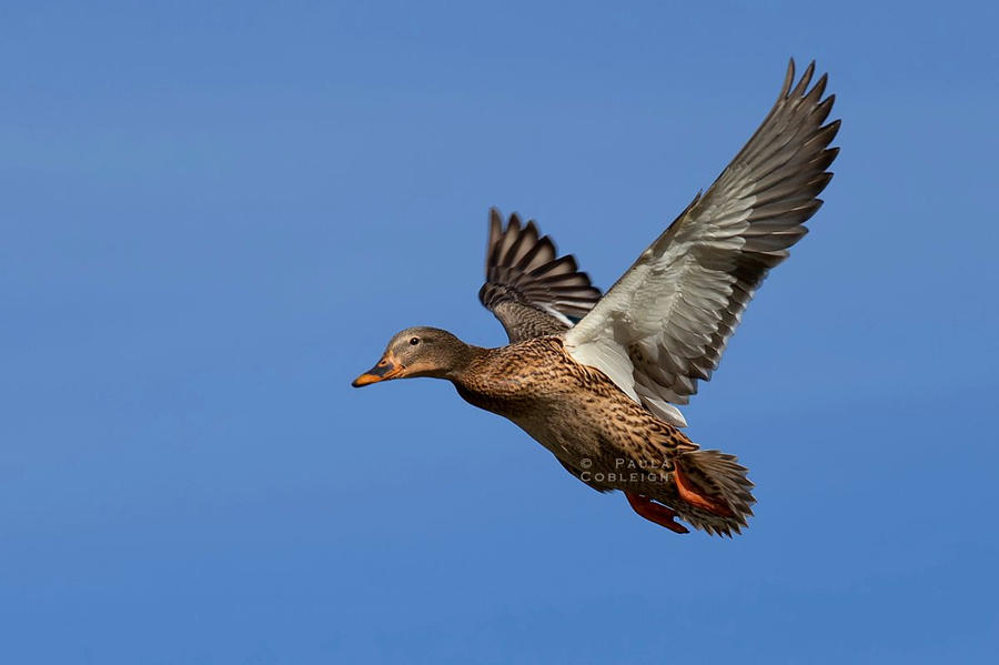 Mallard hen in flight by La-Vita-a-Bella