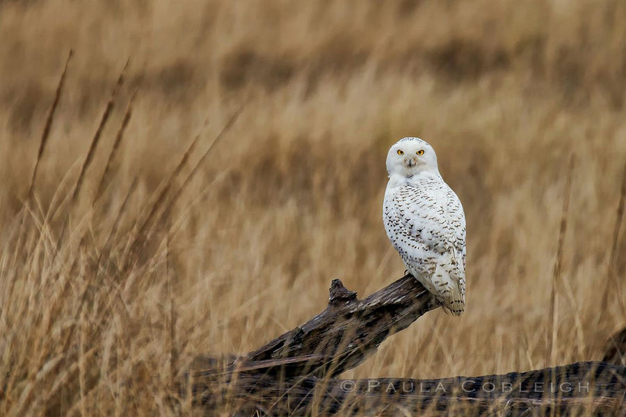 Snowy Owl on log by La-Vita-a-Bella