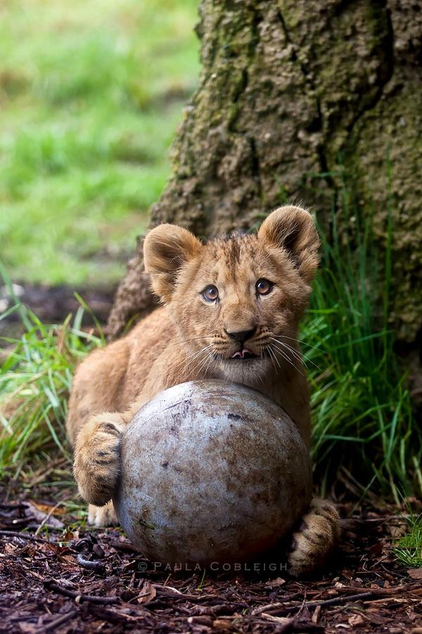 Lion cub by La-Vita-a-Bella