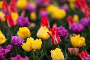 Tulips at the Roozengaarde Show Garden