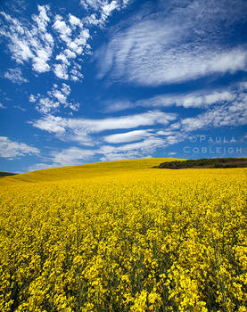 Canola in the Palouse